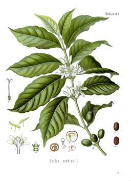 Planche botanique de Coffea arabica. Source : http://data.abuledu.org/URI/520c106c-planche-botanique-de-coffea-arabica