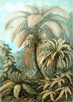 Planche botanique de fougères Filicinae de l'île de Java en 1904. Source : http://data.abuledu.org/URI/535d3c5d-planche-botanique-de-fougeres-filicinae-de-l-ile-de-java-en-1909