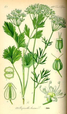 Planche botanique de l'anis vert en 1885. Source : http://data.abuledu.org/URI/53ec98ce-planche-botanique-de-l-anis-vert-en-1885