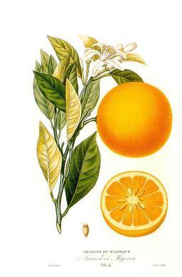 Planche botanique de l'oranger. Source : http://data.abuledu.org/URI/51def4c1-planche-botanique-de-l-oranger