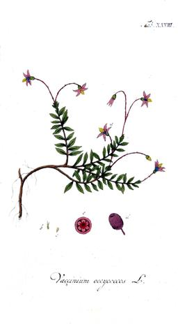 Planche botanique de la canneberge. Source : http://data.abuledu.org/URI/564303bd-planche-botanique-de-la-canneberge