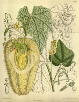 Planche botanique de la chayotte. Source : http://data.abuledu.org/URI/5433c92f-planche-botanique-de-la-chayotte