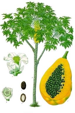 Planche botanique de la papaye. Source : http://data.abuledu.org/URI/503c86d7-planche-botanique-de-la-papaye