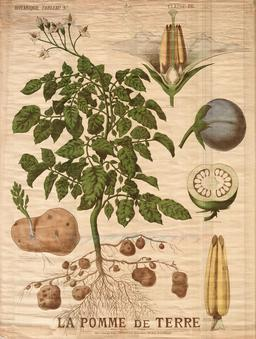 Planche botanique de la pomme de terre. Source : http://data.abuledu.org/URI/56f81ebc-planche-botanique-de-la-pomme-de-terre