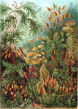 Planche botanique de mousses Muscinae en 1904. Source : http://data.abuledu.org/URI/535d45a7-planche-botanique-de-mousses-muscinae-en-1909