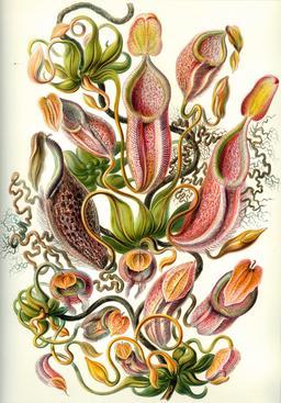 Planche botanique de népenthes en 1904. Source : http://data.abuledu.org/URI/535d4766-planche-botanique-de-nepenthes-en-1909