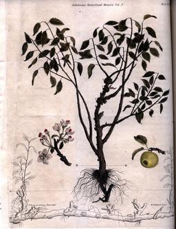 Planche botanique de pommier. Source : http://data.abuledu.org/URI/53445716-planche-botanique-de-pommier