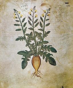 Planche botanique de radis. Source : http://data.abuledu.org/URI/536a14b9-planche-botanique-de-radis
