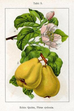 Planche botanique des coings. Source : http://data.abuledu.org/URI/52785548-planche-botanique-des-coings