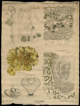 Planche botanique des lichens. Source : http://data.abuledu.org/URI/56f84628-planche-botanique-des-lichens