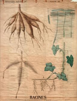 Planche botanique des racines. Source : http://data.abuledu.org/URI/56f81f0e-planche-botanique-des-racines