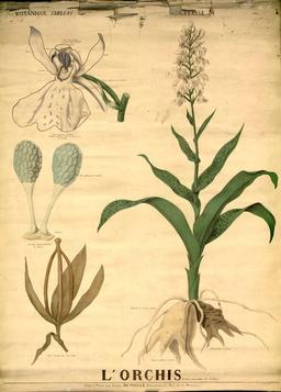 Planche botanique Deyrolle de l'orchis. Source : http://data.abuledu.org/URI/56f82c97-planche-botanique-deyrolle-de-l-orchis