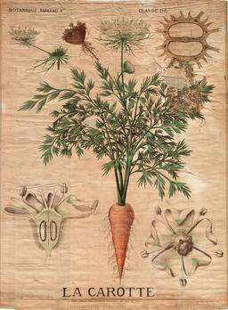 Planche botanique Deyrolle de la carotte. Source : http://data.abuledu.org/URI/56f820ab-planche-botanique-deyrolle-de-la-carotte