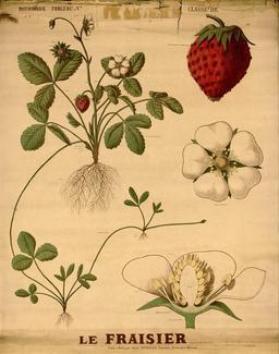Planche botanique Deyrolle de la fraise. Source : http://data.abuledu.org/URI/56f829f4-planche-botanique-deyrolle-de-la-fraise