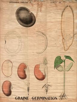 Planche botanique Deyrolle de la germination des graines. Source : http://data.abuledu.org/URI/56f820f8-planche-botanique-deyrolle-de-la-germination-des-graines