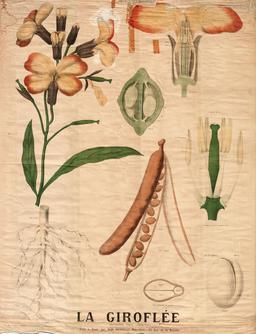 Planche botanique Deyrolle de la giroflée. Source : http://data.abuledu.org/URI/56f81feb-planche-botanique-deyrolle-de-la-giroflee