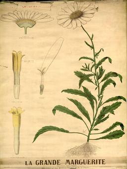 Planche botanique Deyrolle de la grande marguerite. Source : http://data.abuledu.org/URI/56f82a94-planche-botanique-deyrolle-de-la-grande-marguerite