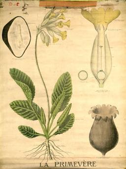 Planche botanique Deyrolle de la primevère. Source : http://data.abuledu.org/URI/56f82840-planche-botanique-deyrolle-de-la-primevere
