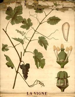Planche botanique Deyrolle de la vigne. Source : http://data.abuledu.org/URI/56f827af-planche-botanique-deyrolle-de-la-vigne