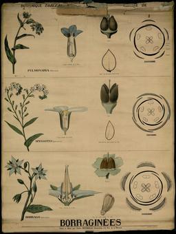 Planche botanique Deyrolle des borraginées. Source : http://data.abuledu.org/URI/56f84699-planche-botanique-deyrolle-des-borraginees