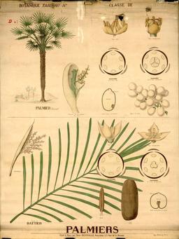 Planche botanique Deyrolle des palmiers. Source : http://data.abuledu.org/URI/56f82c3a-planche-botanique-deyrolle-des-palmiers