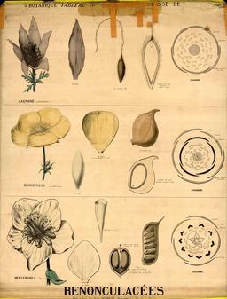 Planche botanique Deyrolle des renonculacées. Source : http://data.abuledu.org/URI/56f82d3d-planche-botanique-deyrolle-des-renonculacees