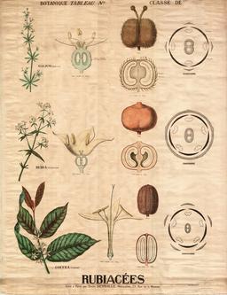 Planche botanique Deyrolle des rubiacées. Source : http://data.abuledu.org/URI/56f81f96-planche-botanique-deyrolle-des-rubiacees