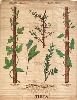 Planche botanique Deyrolle des tiges. Source : http://data.abuledu.org/URI/56f8204e-planche-botanique-deyrolle-des-tiges