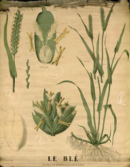 Planche botanique Deyrolle du blé. Source : http://data.abuledu.org/URI/56f82cf7-planche-botanique-deyrolle-du-ble