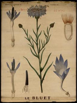 Planche botanique Deyrolle du bleuet. Source : http://data.abuledu.org/URI/56f835a4-planche-botanique-deyrolle-du-bleuet