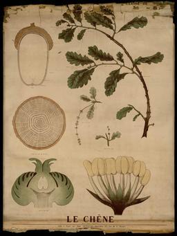 Planche botanique Deyrolle du chêne. Source : http://data.abuledu.org/URI/56f85156-planche-botanique-deyrolle-du-chene