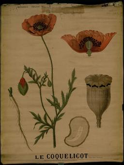 Planche botanique Deyrolle du coquelicot. Source : http://data.abuledu.org/URI/56f845df-planche-botanique-deyrolle-du-coquelicot
