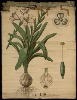 Planche botanique Deyrolle du lis. Source : http://data.abuledu.org/URI/56f83e3f-planche-botanique-deyrolle-du-lis
