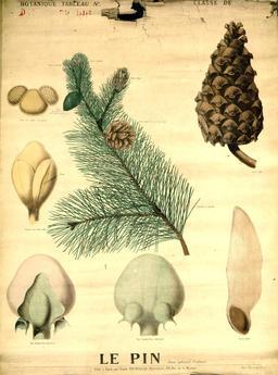 Planche botanique Deyrolle du pin. Source : http://data.abuledu.org/URI/56f8275a-planche-botanique-deyrolle-du-pin