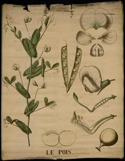 Planche botanique Deyrolle du pois. Source : http://data.abuledu.org/URI/56f846ed-planche-botanique-deyrolle-du-pois