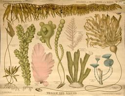 Planche botanique Deyrolle du thalle des algues. Source : http://data.abuledu.org/URI/56f8292f-planche-botanique-deyrolle-du-thalle-des-algues