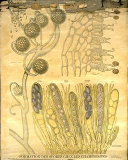 Planche botanique Deyrolle sur les spores de champignons. Source : http://data.abuledu.org/URI/56f82b40-planche-botanique-deyrolle-sur-les-spores-de-champignons