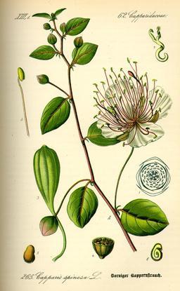 Planche botanique du câprier. Source : http://data.abuledu.org/URI/546d2780-planche-botanique-du-caprier