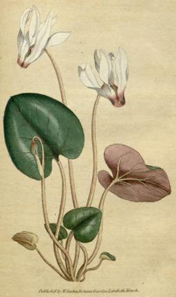 Planche botanique du cyclamen. Source : http://data.abuledu.org/URI/5436bbe8-planche-botanique-du-cyclamen