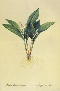 Planche botanique du muguet. Source : http://data.abuledu.org/URI/53956f43-planche-botanique-du-muguet