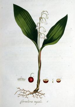 Planche botanique du muguet. Source : http://data.abuledu.org/URI/5395702f-planche-botanique-du-muguet