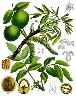 Planche botanique du noyer. Source : http://data.abuledu.org/URI/518ada7a-planche-botanique-du-noyer