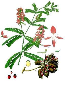 Planche botanique du pois rouge. Source : http://data.abuledu.org/URI/522ce4a2-planche-botanique-du-pois-rouge