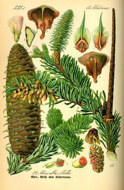 Planche botanique du sapin. Source : http://data.abuledu.org/URI/536bbde7-planche-botanique-du-sapin