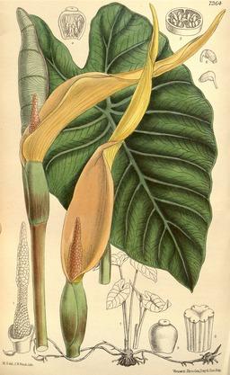 Planche botanique du Taro. Source : http://data.abuledu.org/URI/55088c3e-planche-botanique-du-taro