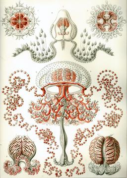 Planche d'Anthoméduses en 1904. Source : http://data.abuledu.org/URI/535cef18-planche-d-anthomeduses-en-1904