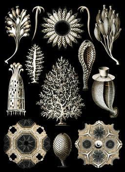 Planche d'éponges calcaires. Source : http://data.abuledu.org/URI/56c9c536-planche-d-eponges-calcaires