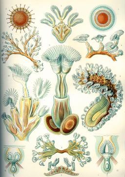 Planche de bryozoaires en 1904. Source : http://data.abuledu.org/URI/535d0434-planche-de-bryozoaires-en-1909