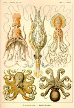 Planche de céphalopodes Gamochonia en 1904. Source : http://data.abuledu.org/URI/535d2fa7-planche-de-cephalopodes-gamochonia-en-1909