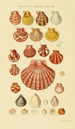 Planche de coquillages. Source : http://data.abuledu.org/URI/5460fa19-planche-de-coquillages